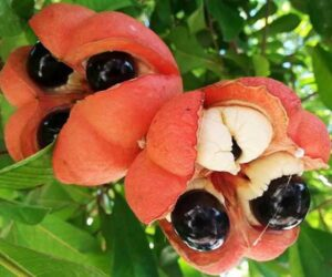 Ackee - National Fruit Of Jamaica