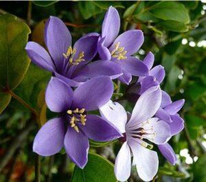 Lignum Vitae - Jamaica National Flower